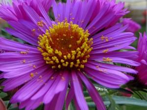 Fleur R - Asters
