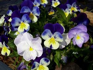 Fleur - Pensées (Viola)
