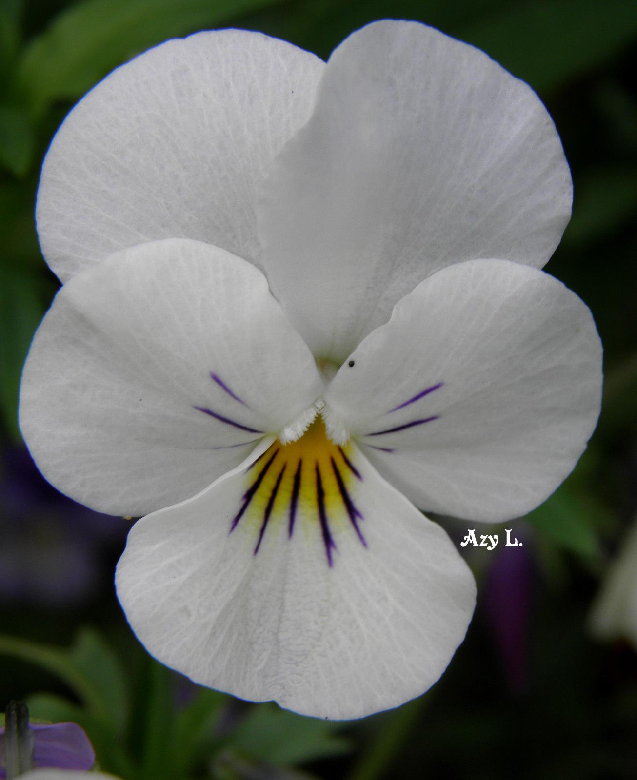 Les pens es at portraits de fleurs ou la marotte d 39 azy l - Pensee fleur vivace ou annuelle ...